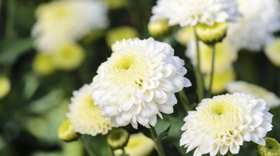 Common Garden Chrysanthemum