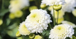 Common Garden Chrysanthemum